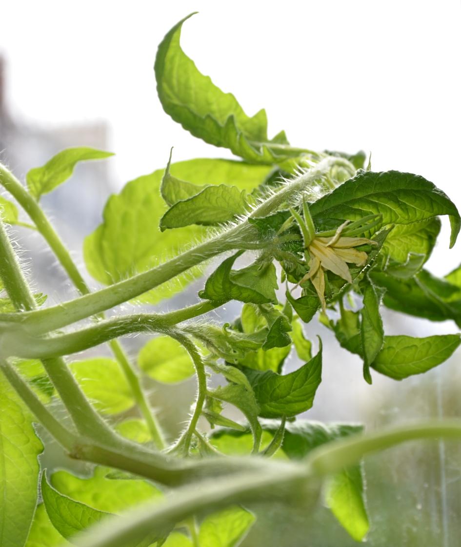 Potagers d appartement tomates jardinage int for Jardinage interieur