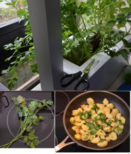 persil cultiver en intérieur