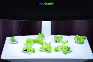 aerogarden culture de salade